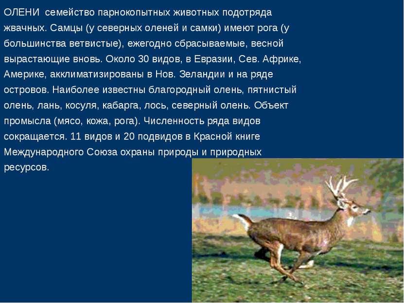 ОЛЕНИ семейство парнокопытных животных подотряда жвачных. Самцы (у северных о...