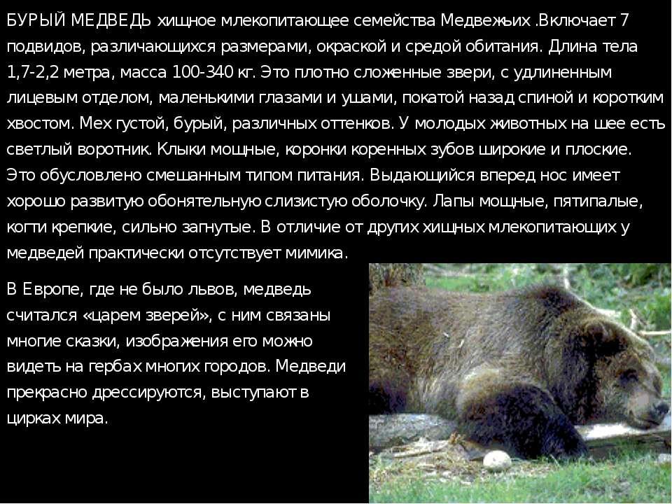 БУРЫЙ МЕДВЕДЬ хищное млекопитающее семейства Медвежьих .Включает 7 подвидов, ...