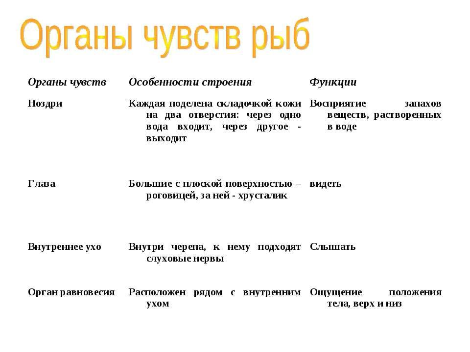 Органы чувств Особенности строения Функции Ноздри Каждая поделена складочкой ...