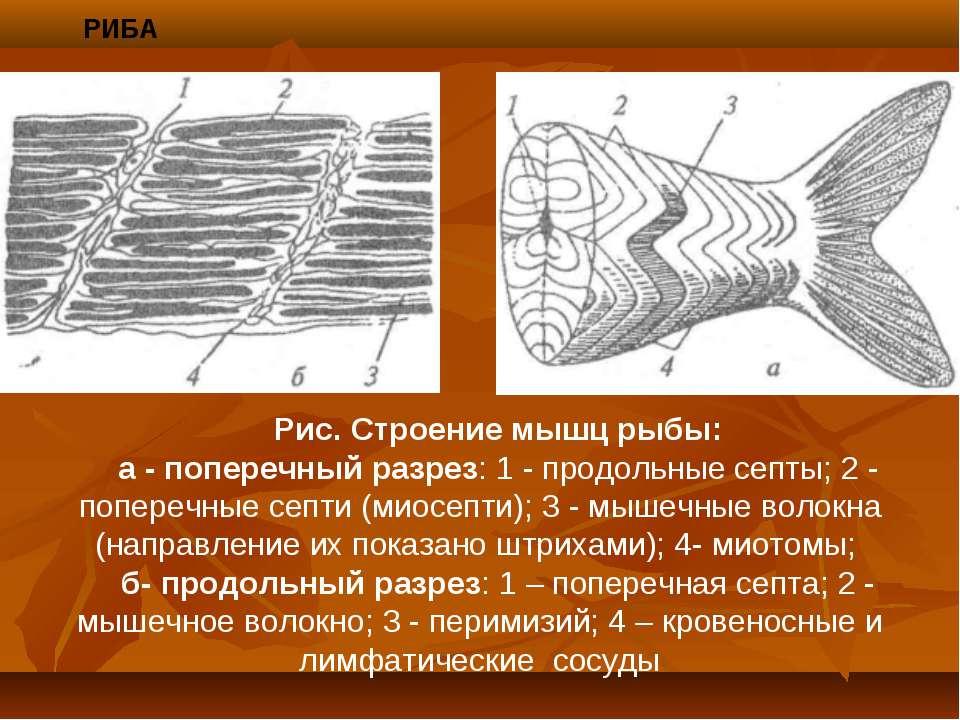 РИБА Рис. Строение мышц рыбы: а - поперечный разрез: 1 - продольные септы; 2 ...
