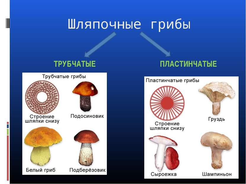 Шляпочные грибы ТРУБЧАТЫЕ ПЛАСТИНЧАТЫЕ