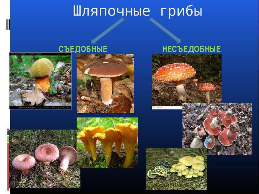 Шляпочные грибы СЪЕДОБНЫЕ НЕСЪЕДОБНЫЕ