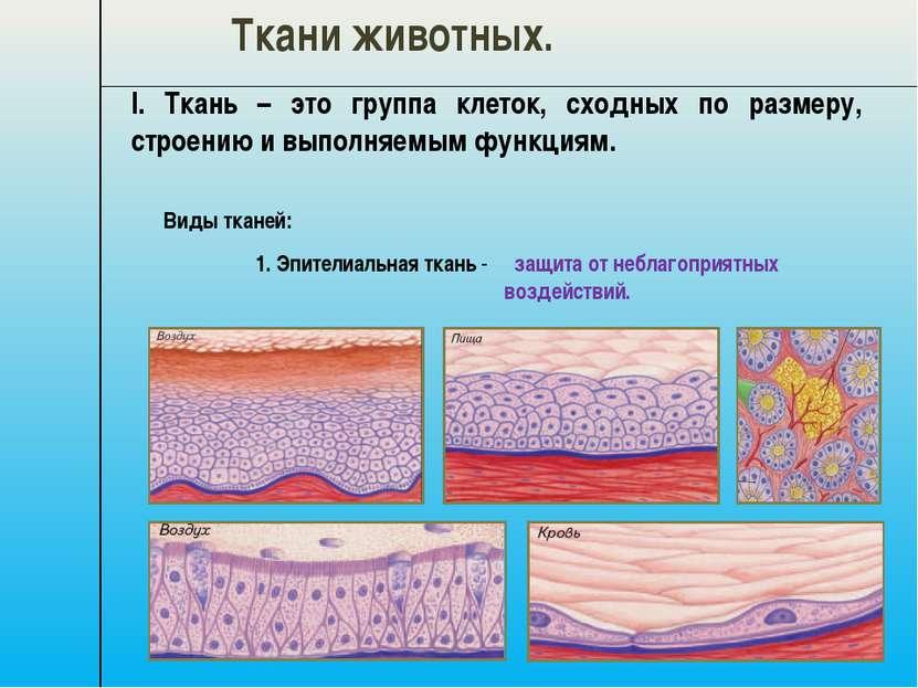 I. Ткань – это группа клеток, сходных по размеру, строению и выполняемым функ...