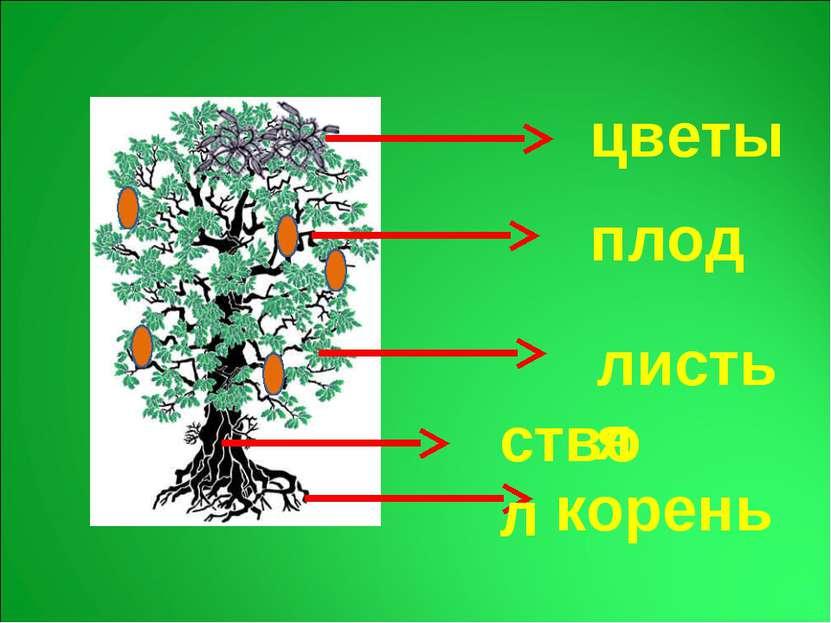 корень ствол листья плод цветы