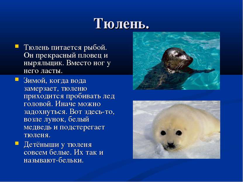 Тюлень. Тюлень питается рыбой. Он прекрасный пловец и ныряльщик. Вместо ног у...