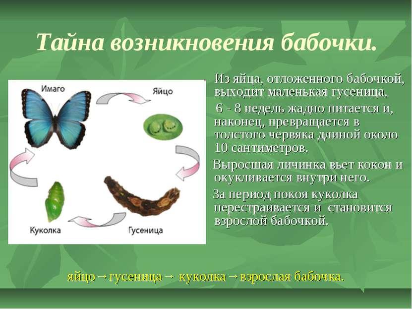 Тайна возникновения бабочки. Из яйца, отложенного бабочкой, выходит маленькая...
