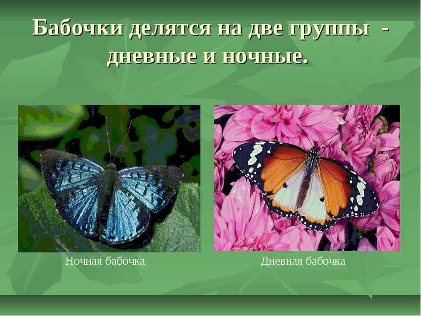 Бабочки делятся на две группы - дневные и ночные. Ночная бабочка Дневная бабочка