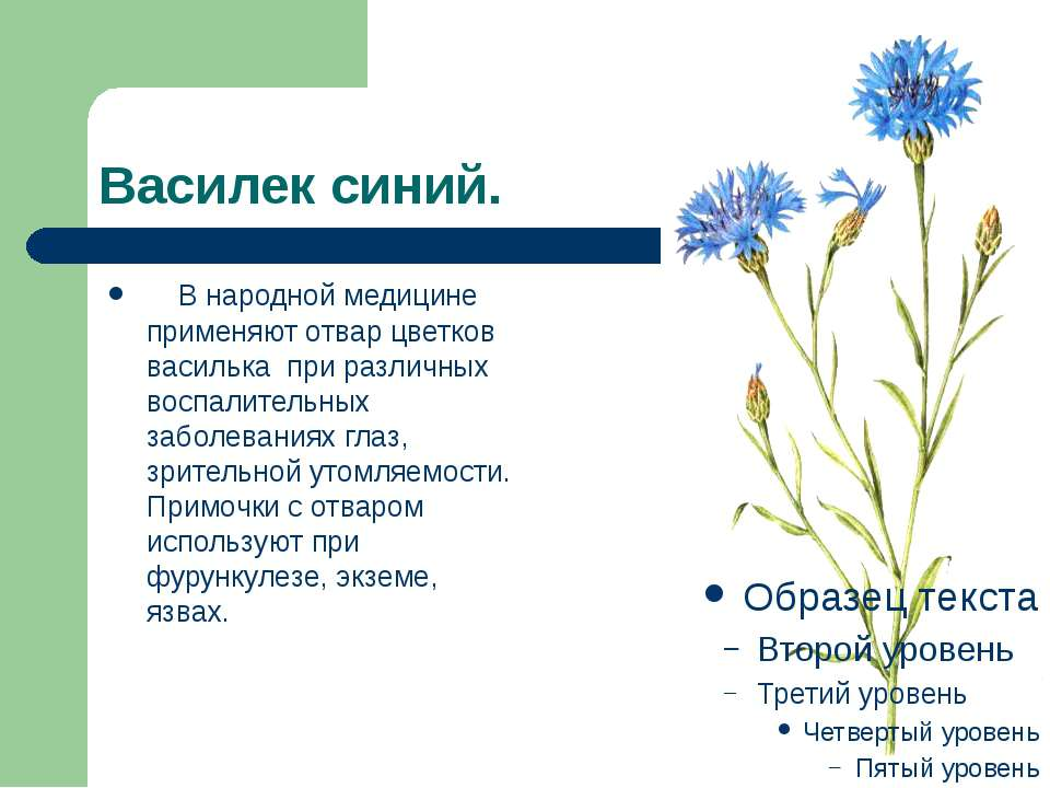Василек синий.  В народной медицине применяют отвар цветков василька при р...