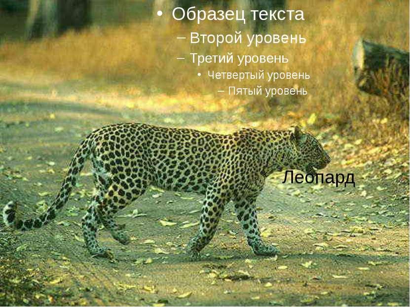 Леопард Леопард