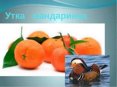 Утка мандаринка