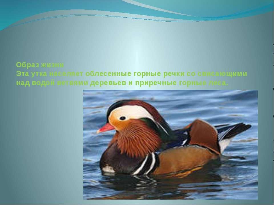 Образ жизни Эта утка населяет облесенные горные речки со свисающими над водой...