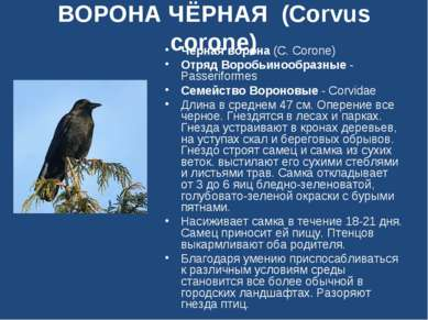 ВОРОНА ЧЁРНАЯ (Corvus corone) Черная ворона (C. Corone) Отряд Воробьинообразн...