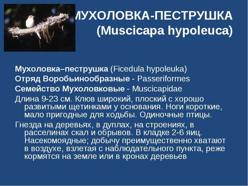 МУХОЛОВКА-ПЕСТРУШКА (Muscicapa hypoleuca) Мухоловка–пеструшка (Ficedula hypol...
