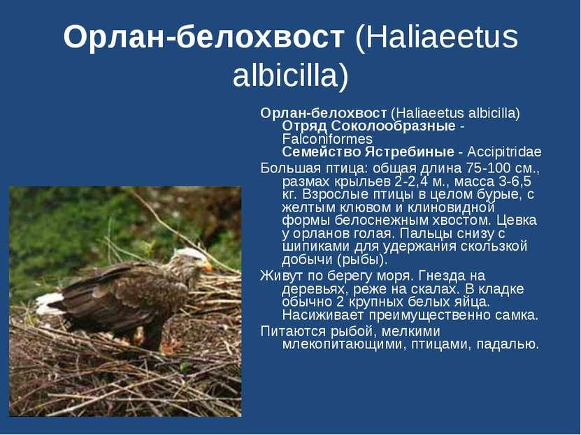 Орлан-белохвост (Haliaeetus albicilla) Орлан-белохвост (Haliaeetus albicilla)...