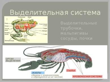 Выделительная система Выделительные трубочки, мальпигивы сосуды, почки