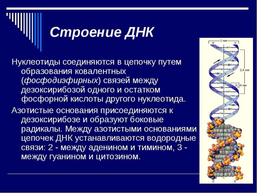 Строение ДНК Нуклеотиды соединяются в цепочку путем образования ковалентных (...