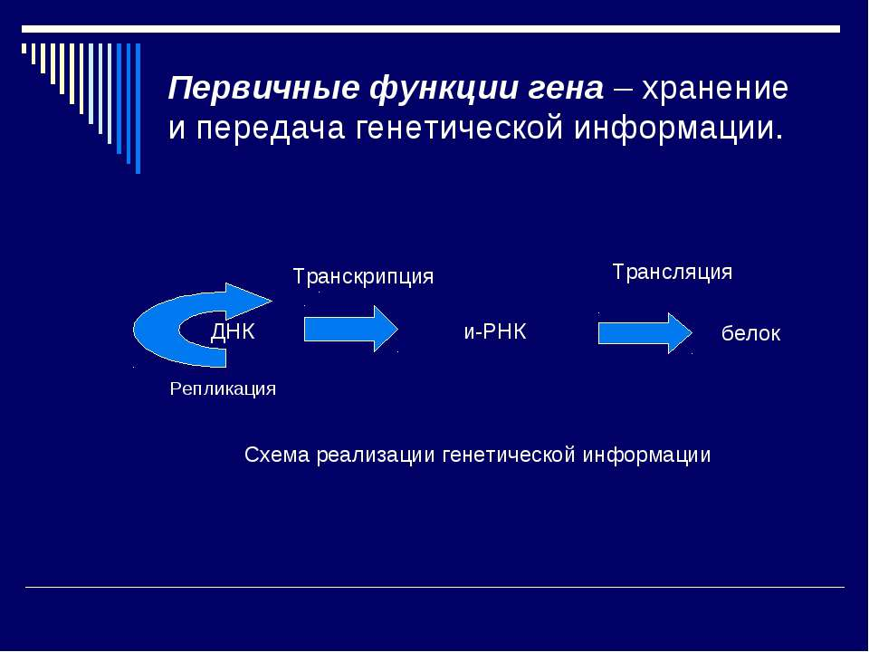 Первичные функции гена – хранение и передача генетической информации. Реплика...