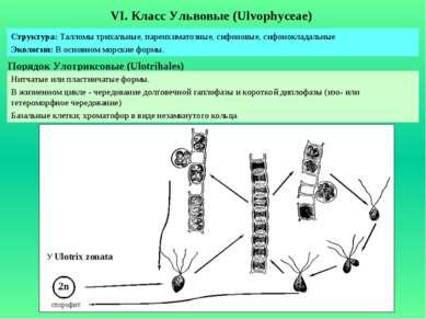 VI. Класс Ульвовые (Ulvophyceae) Порядок Улотриксовые (Ulotrihales) Структура...