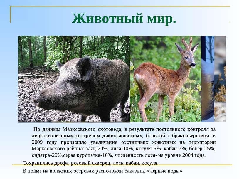 Животный мир. По данным Марксовского охотоведа, в результате постоянного конт...