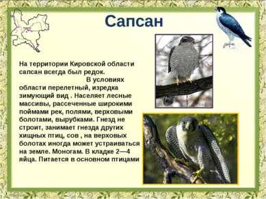 Сапсан На территории Кировской области сапсан всегда был редок. В условиях об...
