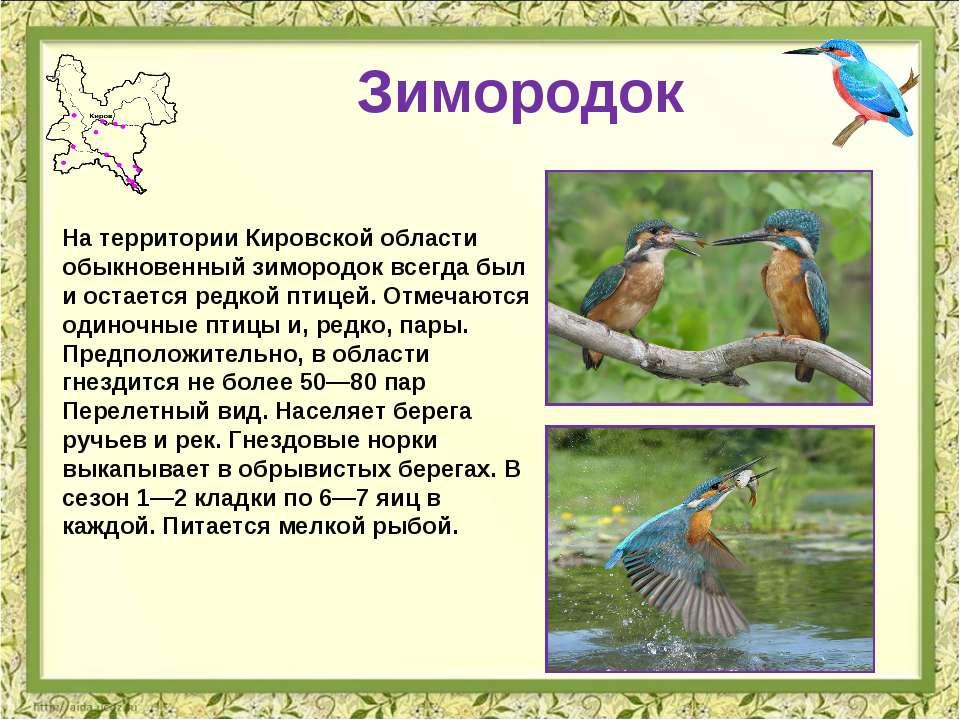 Зимородок На территории Кировской области обыкновенный зимородок всегда был и...