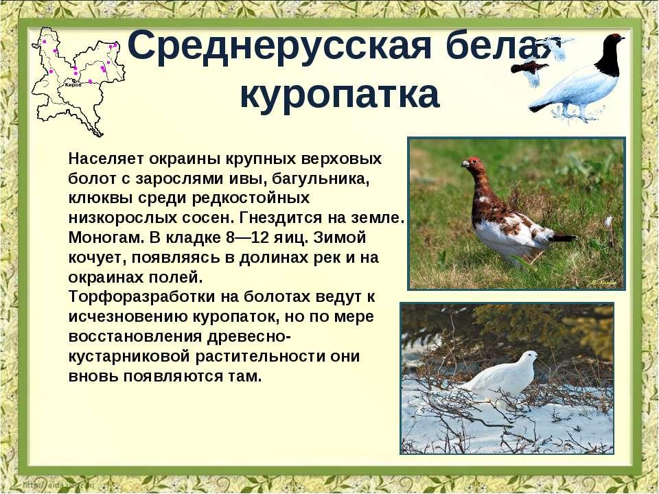Среднерусская белая куропатка Населяет окраины крупных верховых болот с зарос...