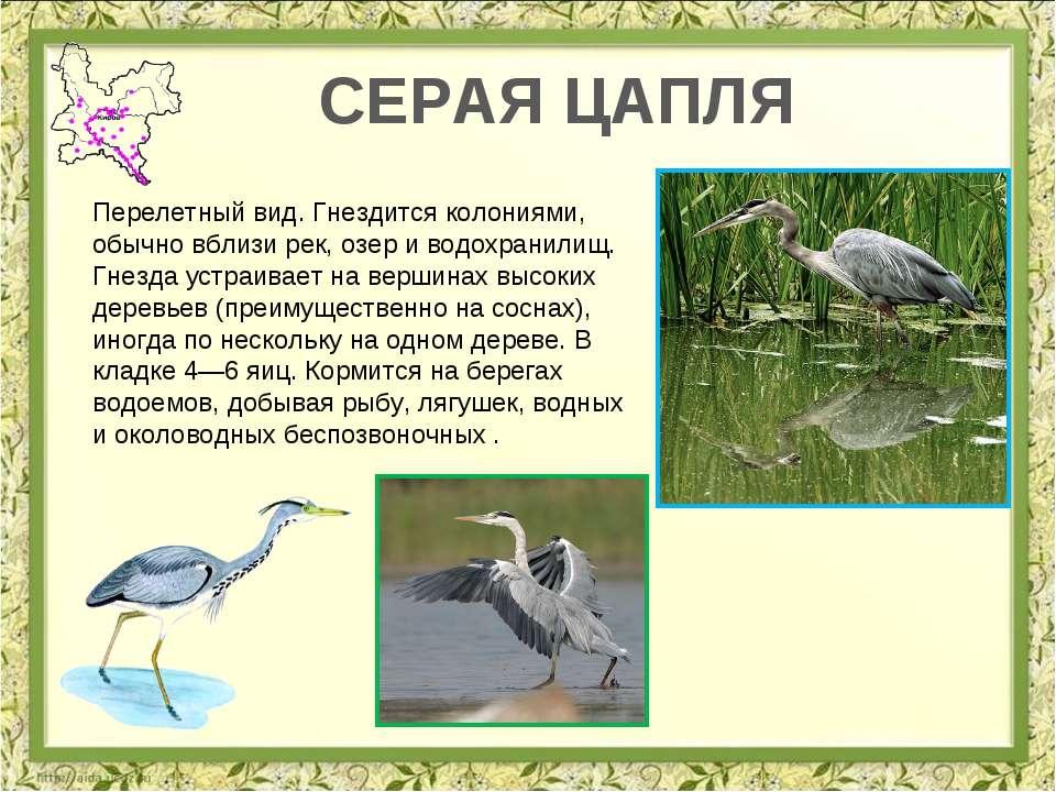 СЕРАЯ ЦАПЛЯ Перелетный вид. Гнездится колониями, обычно вблизи рек, озер и во...