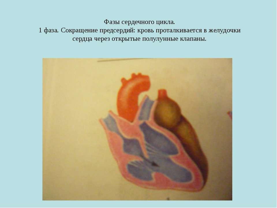 Фазы сердечного цикла. 1 фаза. Сокращение предсердий: кровь проталкивается в ...