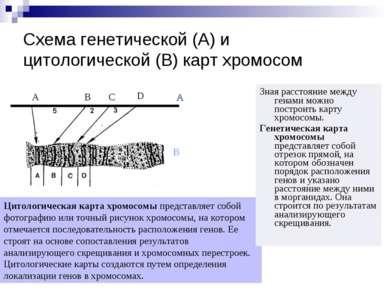 Схема генетической (А) и цитологической (В) карт хромосом Зная расстояние меж...