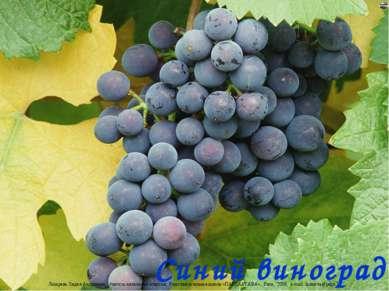 Синий виноград Лазарева Лидия Андреевна, учитель начальных классов, Рижская о...