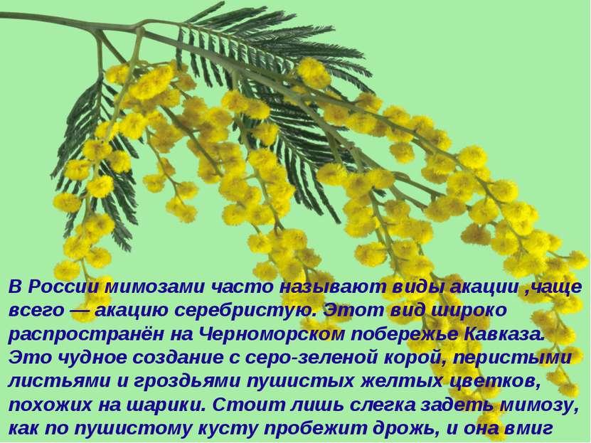 В России мимозами часто называют виды акации ,чаще всего — акацию серебристую...