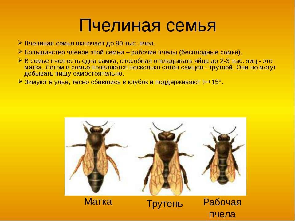 Пчелиная семья Пчелиная семья включает до 80 тыс. пчел. Большинство членов эт...