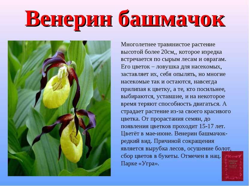 Венерин башмачок Многолетнее травянистое растение высотой более 20см,, которо...