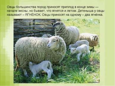 Овцы большинства пород приносят приплод в конце зимы — начале весны, но бывае...