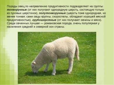 Породы овец по направлению продуктивности подразделяют на группы: тонкорунные...