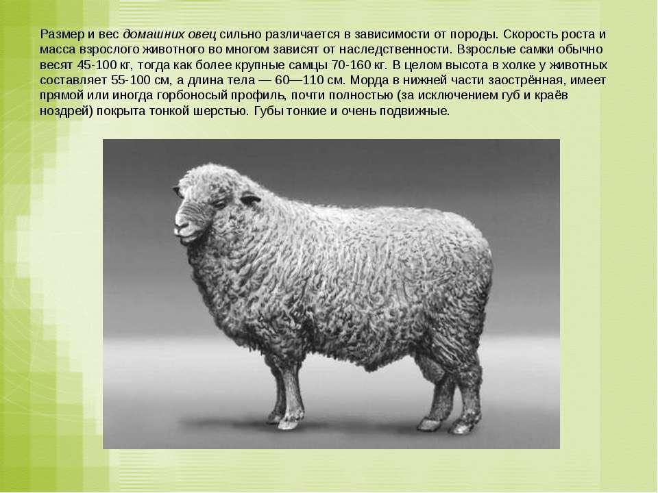 Размер и вес домашних овец сильно различается в зависимости от породы. Скорос...