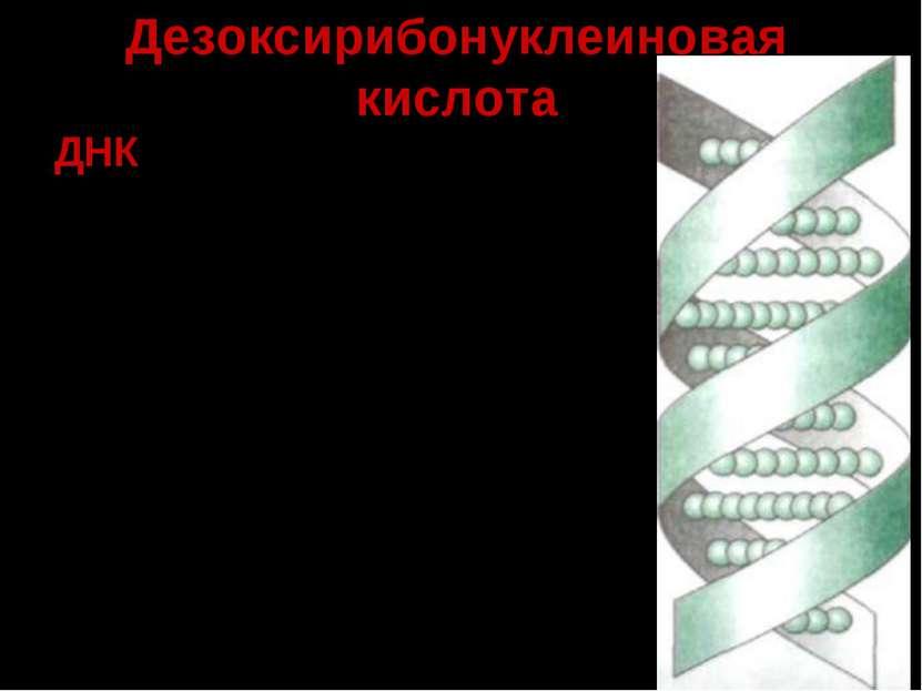 Дезоксирибонуклеиновая кислота ДНК –биологический полимер, состоящий из двух ...
