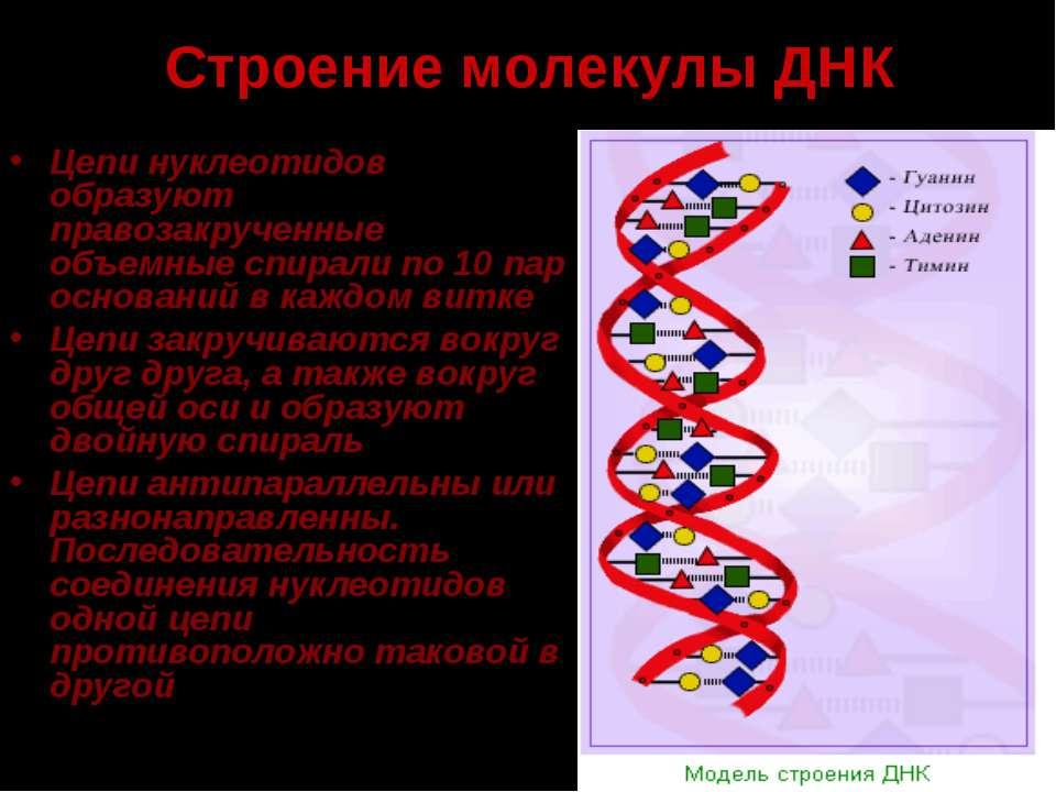 Строение молекулы ДНК Цепи нуклеотидов образуют правозакрученные объемные спи...