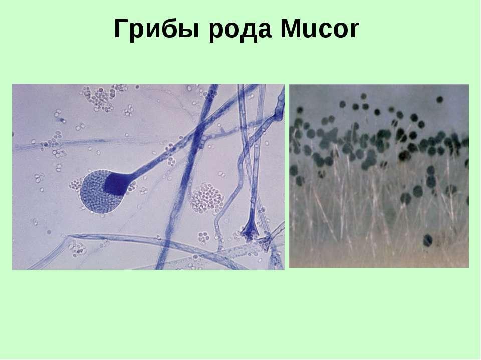 Грибы рода Mucor