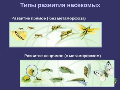 Типы развития насекомых Развитие прямое ( без метаморфоза) Развитие непрямое ...