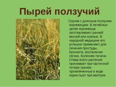 Пырей ползучий Сорняк с длинным ползучим корневищем. В лечебных целях корневи...
