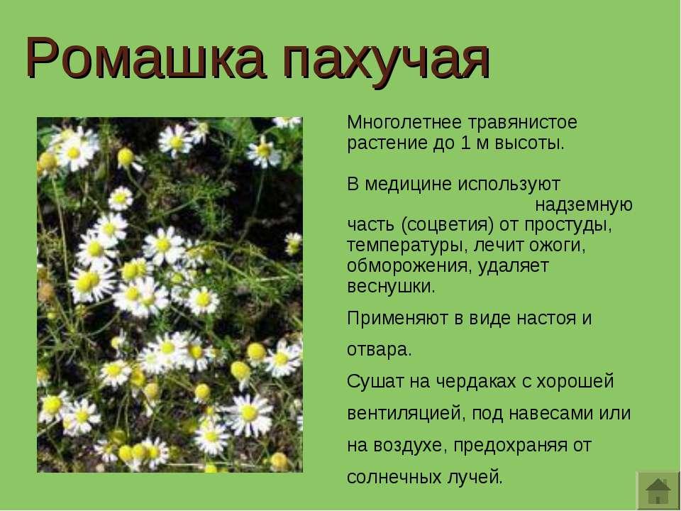 Многолетнее травянистое растение до 1 м высоты. В медицине используют надземн...