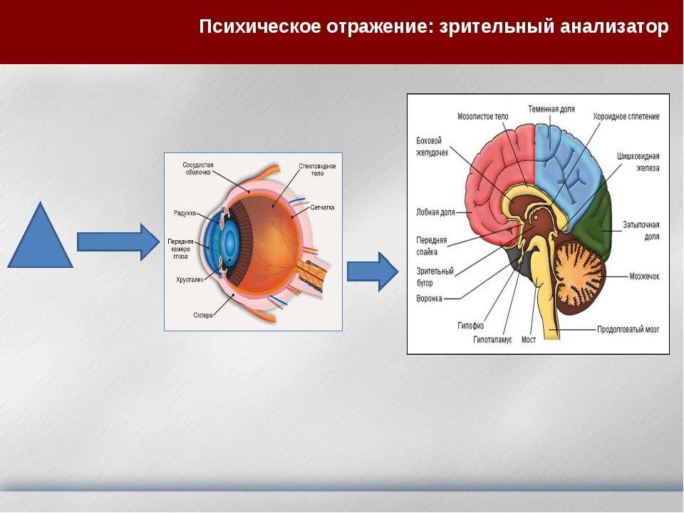 Психическое отражение: зрительный анализатор