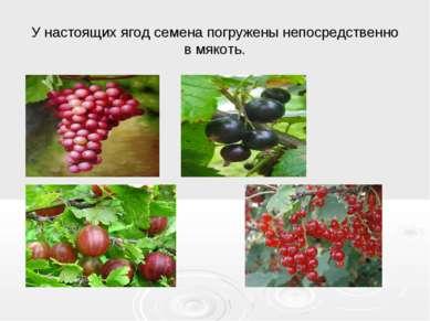 У настоящих ягод семена погружены непосредственно в мякоть.