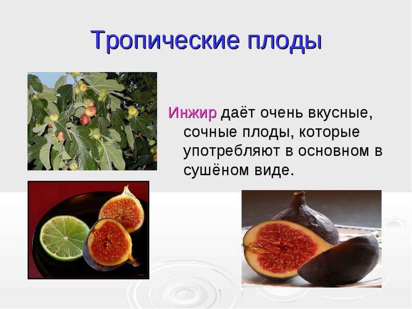 Тропические плоды Инжир даёт очень вкусные, сочные плоды, которые употребляют...