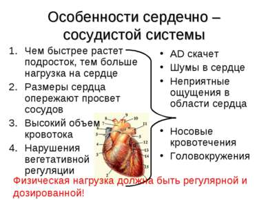 Особенности сердечно – сосудистой системы Чем быстрее растет подросток, тем б...