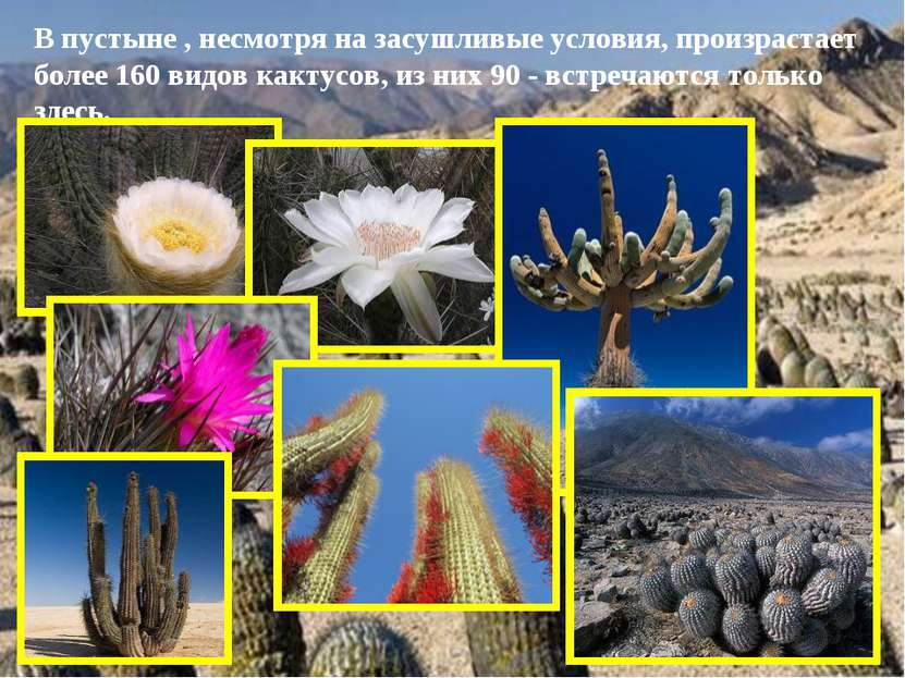 В пустыне , несмотря на засушливые условия, произрастает более 160 видов какт...