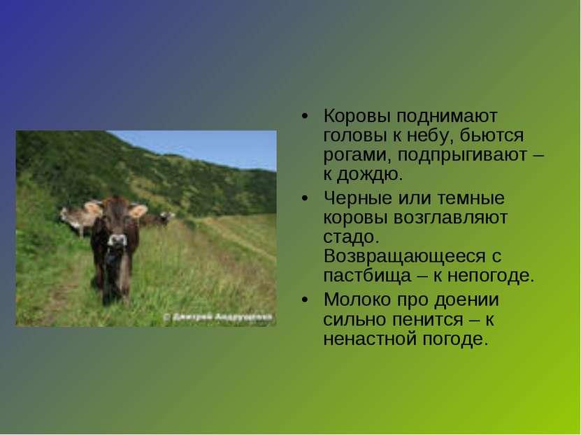 Коровы поднимают головы к небу, бьются рогами, подпрыгивают – к дождю. Черные...
