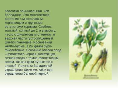 Красавка обыкновенная, или белладона. Это многолетнее растение с многоглавым ...