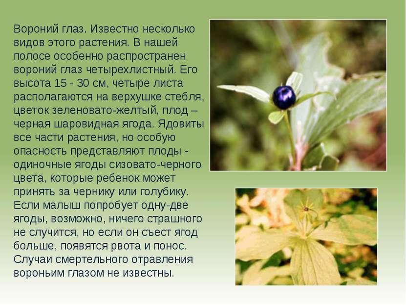 Вороний глаз. Известно несколько видов этого растения. В нашей полосе особенн...